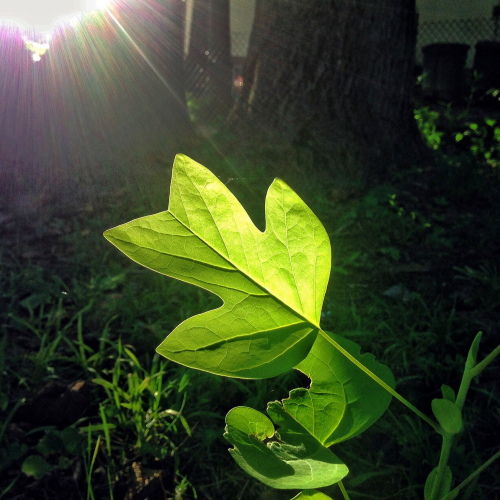 Morning light leaf